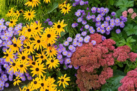 best fall perennial flowers bing images