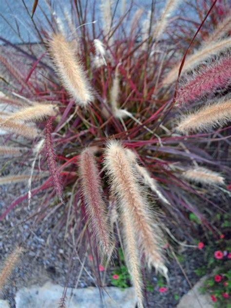 ornamental grass varieties hgtv