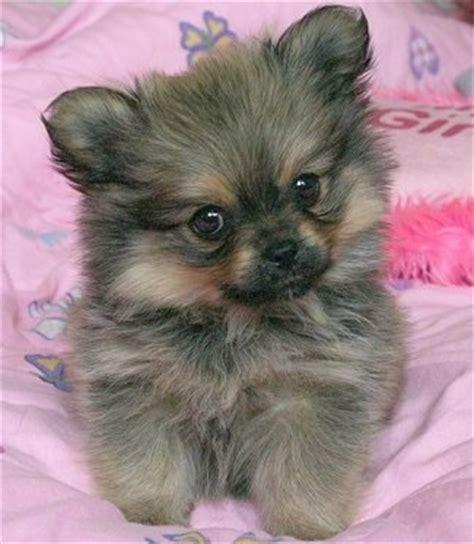 peekapom puppies peek a pom breed pictures 1