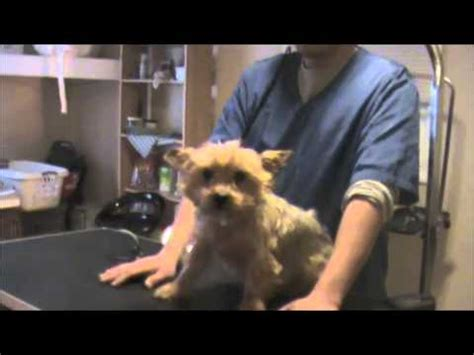 clipping yorkie nails bathing a yorkie including glands and ear trim funnycat tv