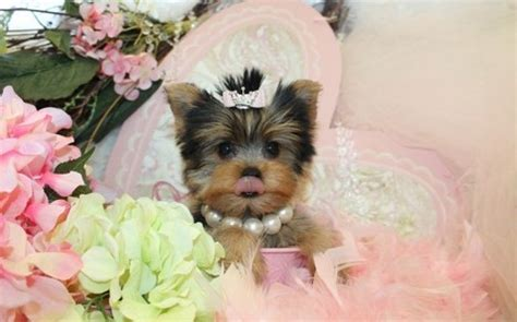 yorkie chihuahua mix puppies for sale yorkies chihuahua yorkie mix puppies text 504 814 9941 dogs