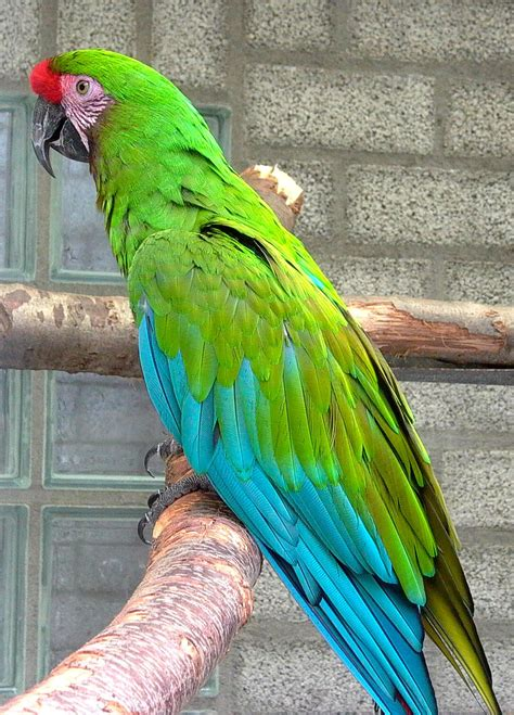mexican green macaw parrot love the turquoise blue