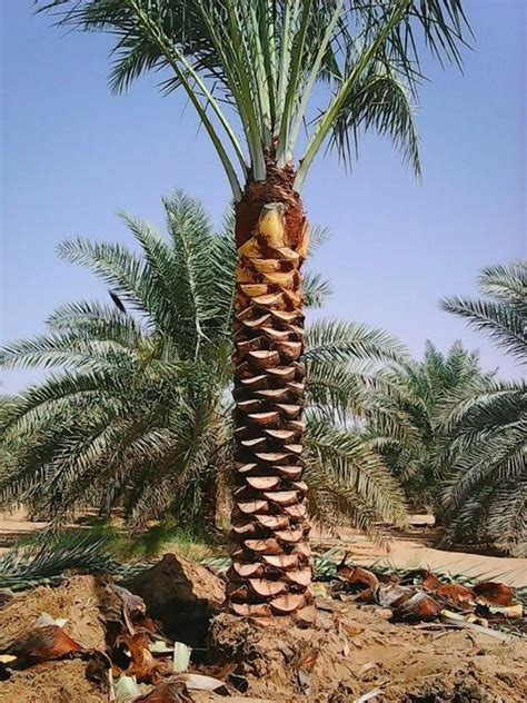 palm trees for sale date palm trees for sale 0561513145 with home delivery and
