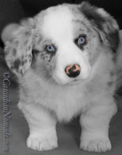 white dogs with blue black with blue www imgkid the image kid has it