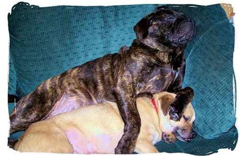 pit pug pugbull terrier pugbull terriers pug x pit bull