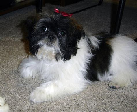 average shih tzu size 4 months shih tzu average size weight and products for feeding