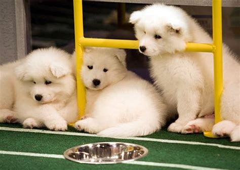 puppy bowl puppies 2017 today 2017 puppy bowl at lucky bark and brew humans must be age 21