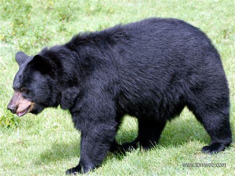 imagenes oso negro oso negro saint felicien toniweb