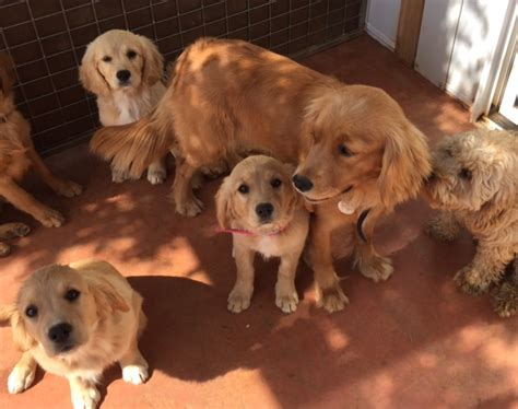 golden retriever cross cavalier maggie and the miniretrievers kates family pets