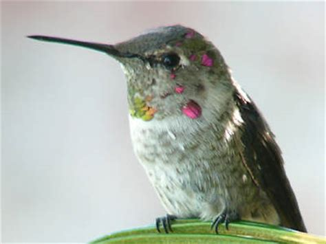 hummingbirds net