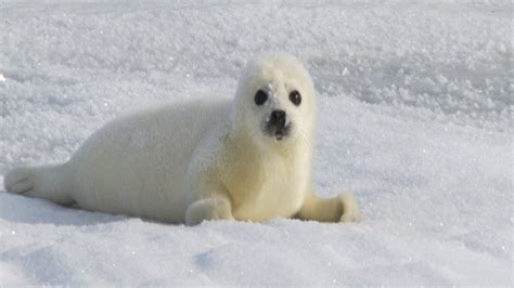 white seal pup harp seal pup www imgkid the image kid has it