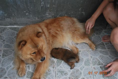 golden chow mix puppies for sale golden chows pictures breeds picture