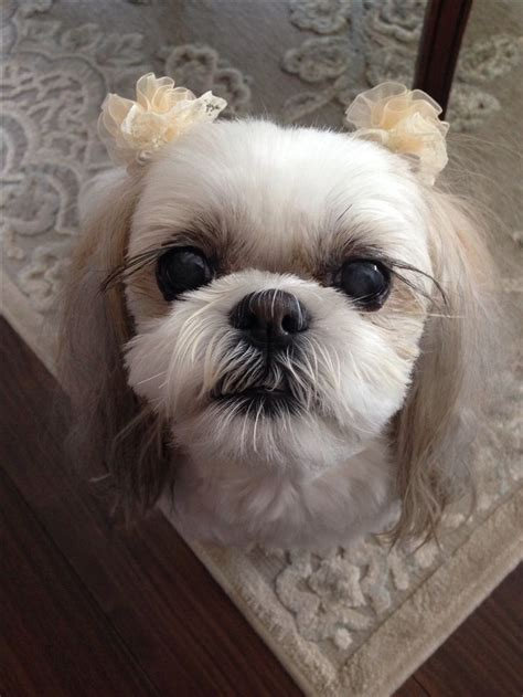 shih tzu eyelashes 200 best images about dogs on shih tzus animals and pets and pets
