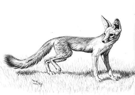 kit fox coloring page beautiful rainforest coloring page download print