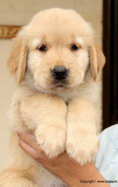 top ten golden retriever names 1000 images about golden retriever names on golden retriever puppies