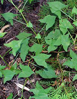Flowering House Plants Identification bush tucker plant food edible weeds