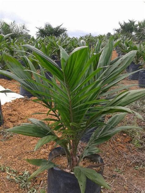 Bibit Kakao Siap Tanam bibit benih unggul kelapa sawit di bengkulu bibit kelapa