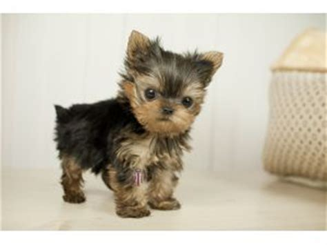 micro mini yorkie best 25 micro teacup yorkie ideas on teacup teacup yorkie and