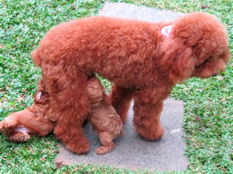 red toy red toy poodle cute www pixshark com images galleries