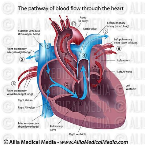 diagram with labels and blood flow alila media blood flow through the