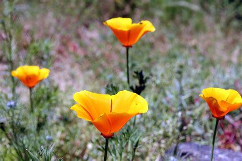 california poppy file california poppy in san francisco 1 jpg