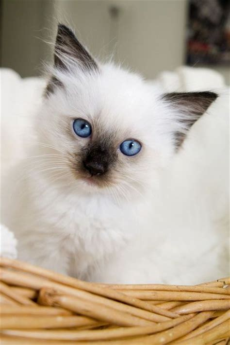 rag doll you re gonna die 117 best images about persians himalayan rag doll