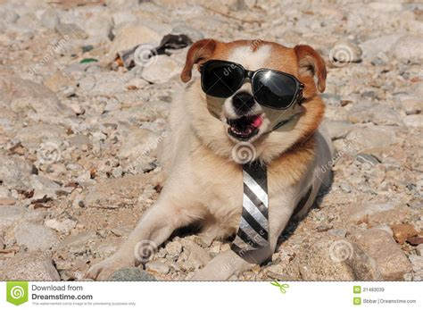 puppy sunglasses puppy in sunglasses royalty free stock images image 21483039