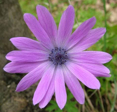 fiore viola fiore viola fotografia fiori