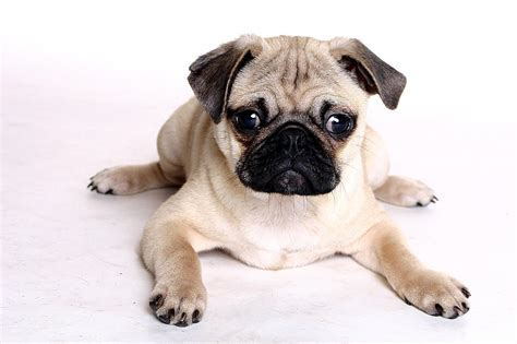 pug i you adorable pug says i you