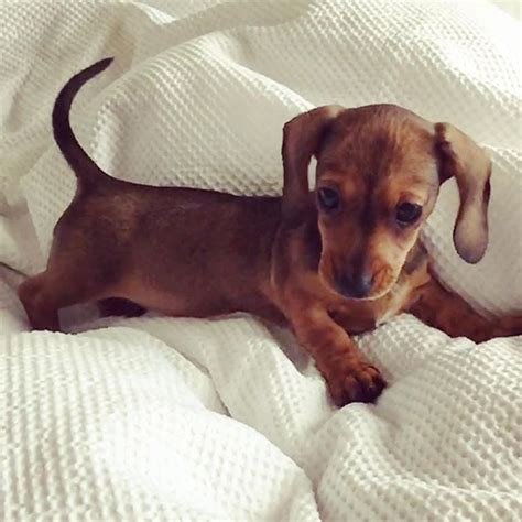 miniature dotson puppies best 20 miniature dachshunds ideas on baby dachshund sausage puppy