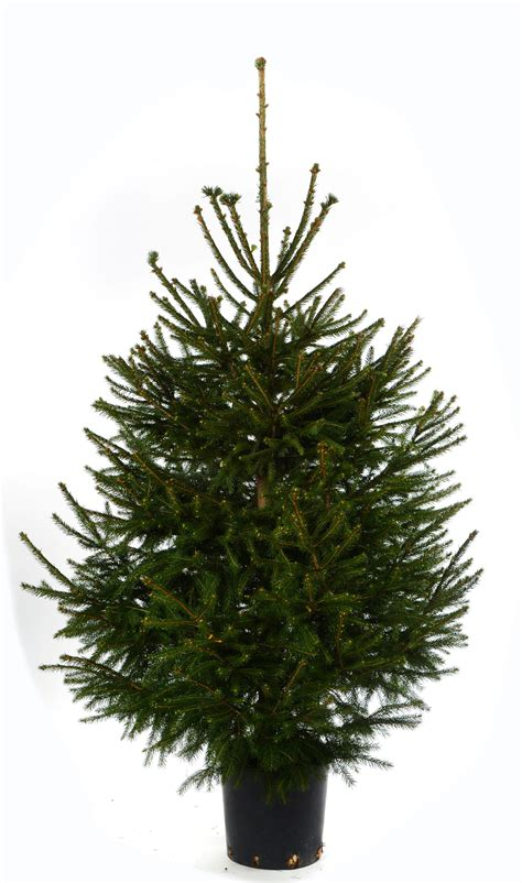 real christmas trees bq spruce real tree departments diy at b q
