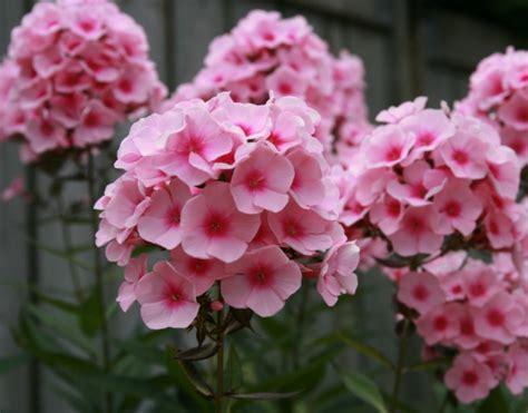 Biji Bunga Peony Biru daftar nama bunga lengkap beserta gambar dan penjelasannya