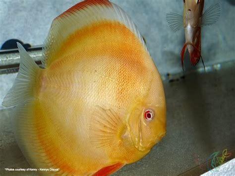 merak albino bu resimler benim balığıma benzeyen balıklar