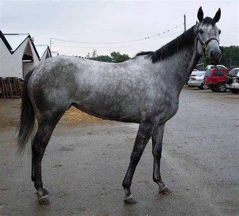 sle of grey gray thoroughbred horses www pixshark images galleries with a bite