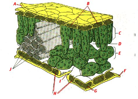 Plant Leaf Cross Section by Ib Plant Science Reviews