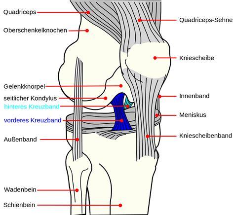 diagram of knee joint diagrams of knee diagram site