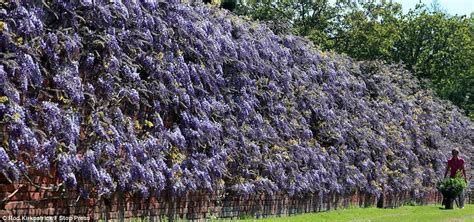 training wisteria vines to wall britain s longest wisteria vine bursts into life after