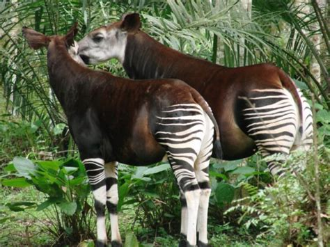 Home Design In Jacksonville Fl introduction of male okapi kijana and female okapi tatu