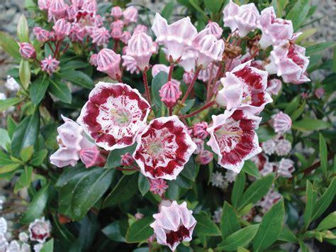 kalmia latifolia photo 8956 kalmia latifolia minuet plant lust