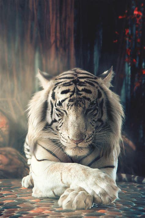 Tiger White white tiger on
