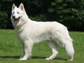 berger blanc suisse breeds picture