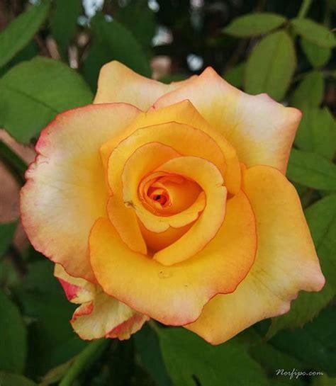 imagenes de flores rosas amarillas fotos de flores de rosas amarillas