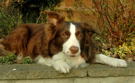 brown border collie puppies brown border collie pup www imgkid the image kid has it