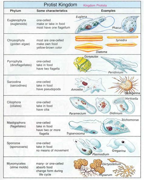 section 20 3 plantlike protists unicellular algae answers budakus apa itu kingdom protista