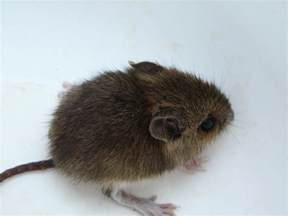 what eats mice what do mice eat