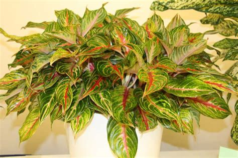 Aglonema Ruby 29 new flowering and foliage plants from tpie 2017 greenhouse grower