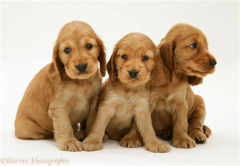 cocker spaniel puppies ohio american bulldog puppies wallpaper