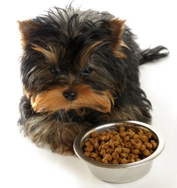 how does a teacup yorkie live teacup yorkie the pocket sized terrier