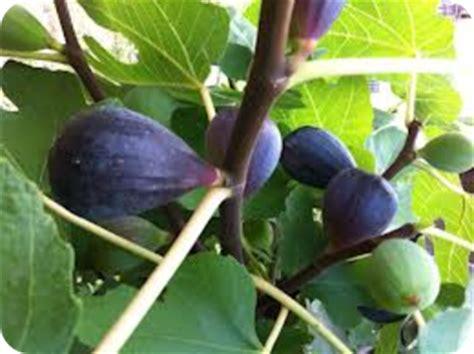Buah Tiin manfaat buah tiin ara info jaga kesehatan