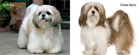difference between shih tzu and lhasa apso difference between a shih tzu and lhasa apso american breeds picture
